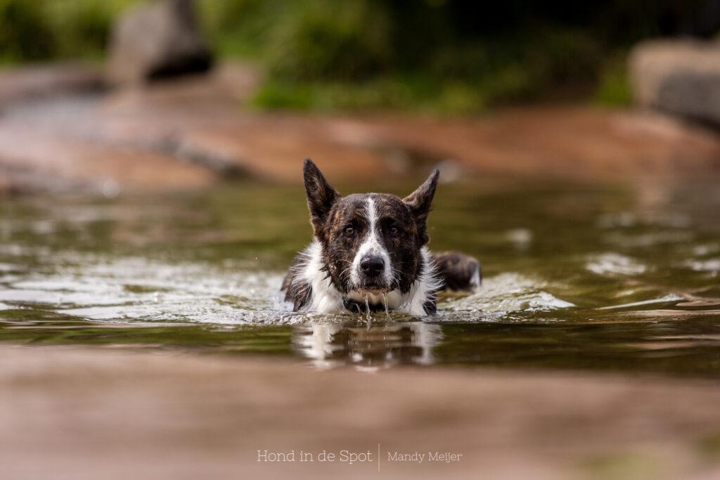 Corgi in het water